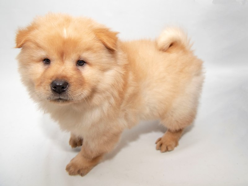 Chow Chow-Female-Cinnamon-2280817-My Next Puppy