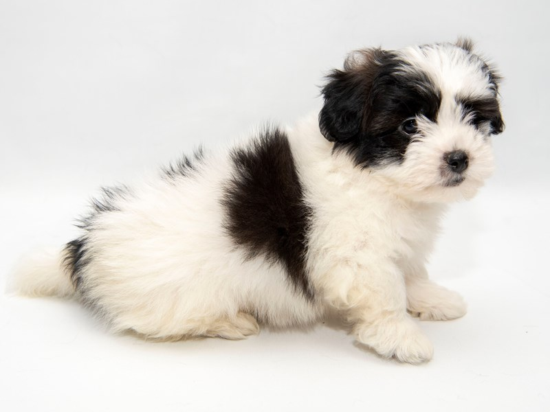 Shichon-Male-White / Brindle-2280821-My Next Puppy