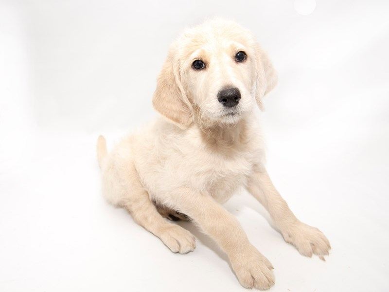 Labradoodle-Male-Yellow-2286280-My Next Puppy