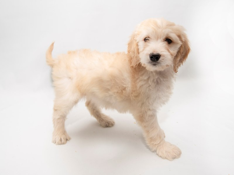 Goldendoodle-Female-Golden-2286281-My Next Puppy