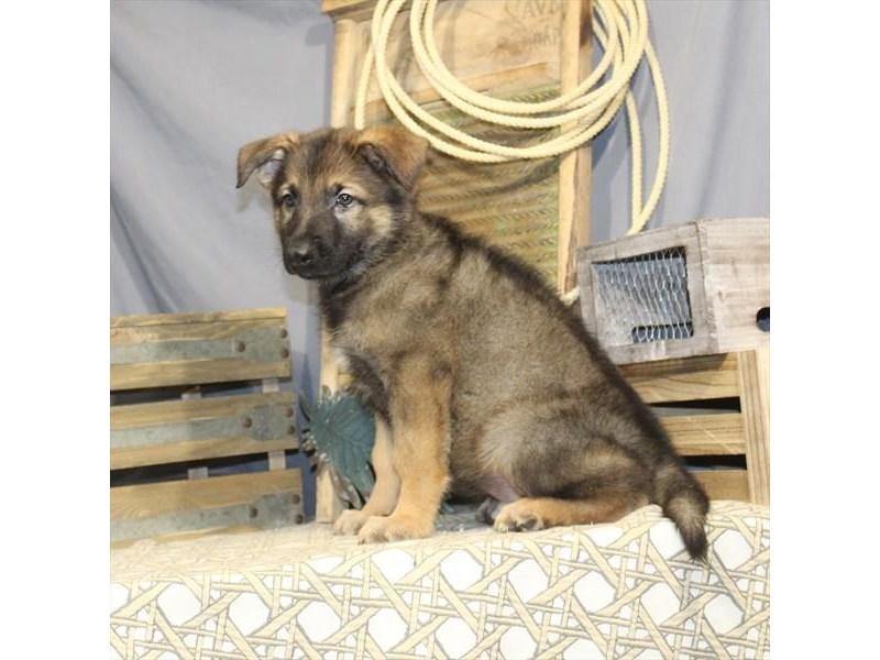 German Shepherd Dog – Murphy