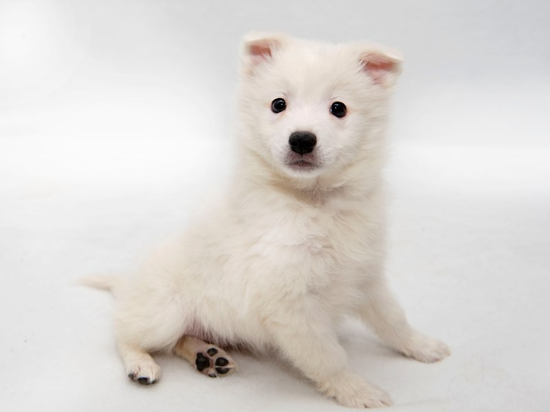 American Eskimo-Female-White-2267073-My Next Puppy
