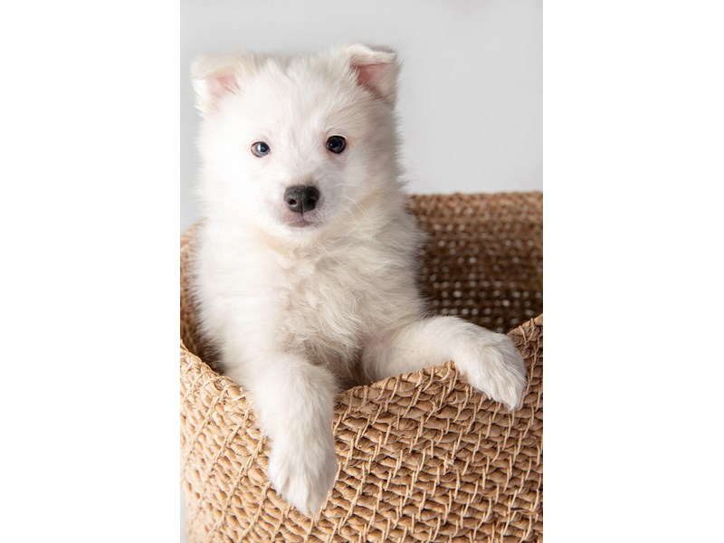 American Eskimo-Male-White-2267081-My Next Puppy