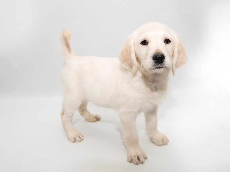 Labradoodle-Female-Yellow-2286278-My Next Puppy