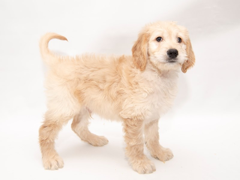 Goldendoodle-Male-Golden-2286284-My Next Puppy