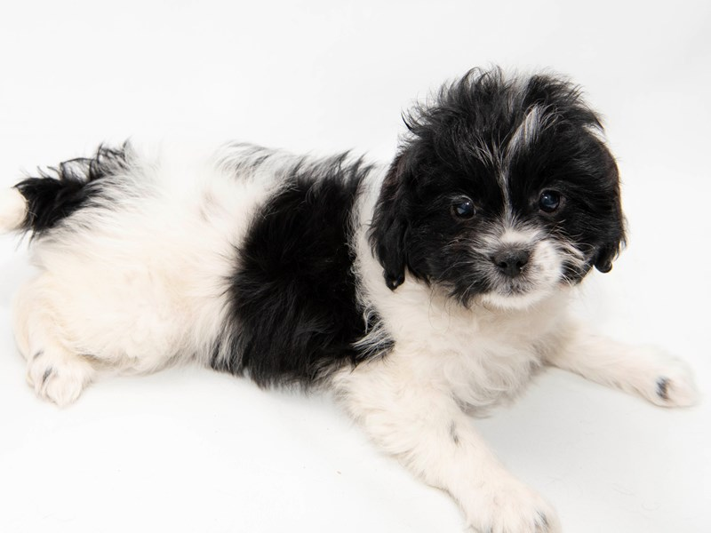 Shih Tzu/Bichon-Female-White / Black-2291720-My Next Puppy