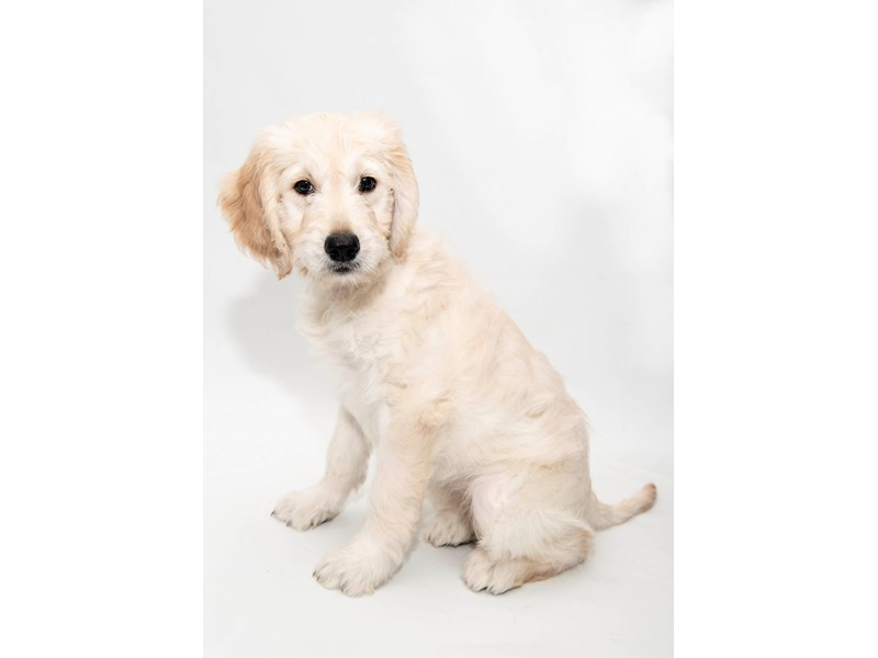 Goldendoodle-Female-Light Golden-2291721-My Next Puppy