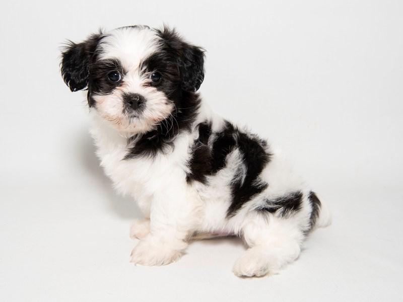 Teddy Bear-Male-BLK & WH-2291394-My Next Puppy