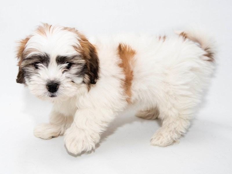 Shih Tzu/Bichon-Male-White / Red Fawn-2281175-My Next Puppy