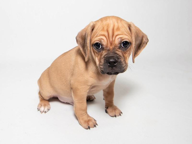 Puggle-Male-Apricot-2291764-My Next Puppy