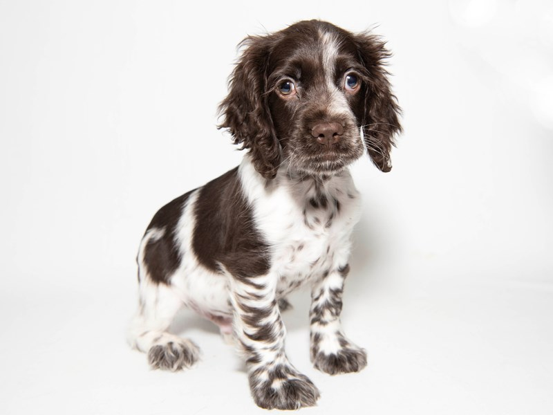 Cocker Spaniel-Male-Chocolate / White-2286855-My Next Puppy