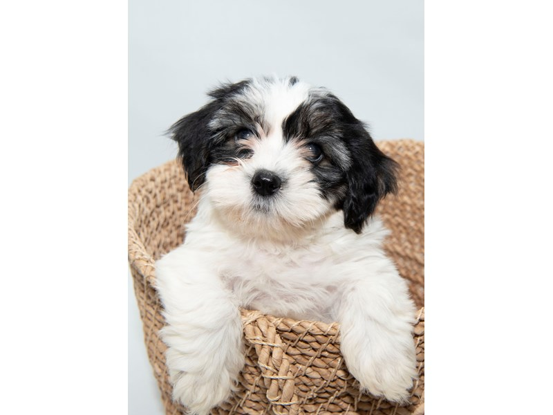 Teddy Bear-Female-White Black / Tan-2297889-My Next Puppy