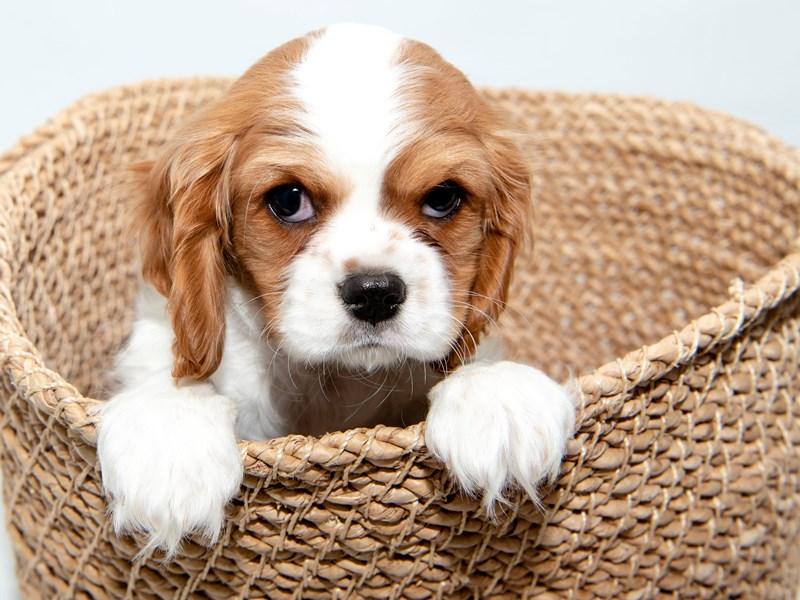 Cavalier King Charles-Female-BHEIM-2296931-My Next Puppy