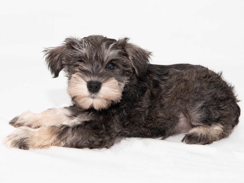 Miniature Schnauzer-Male-Salt / Pepper-2303246-My Next Puppy
