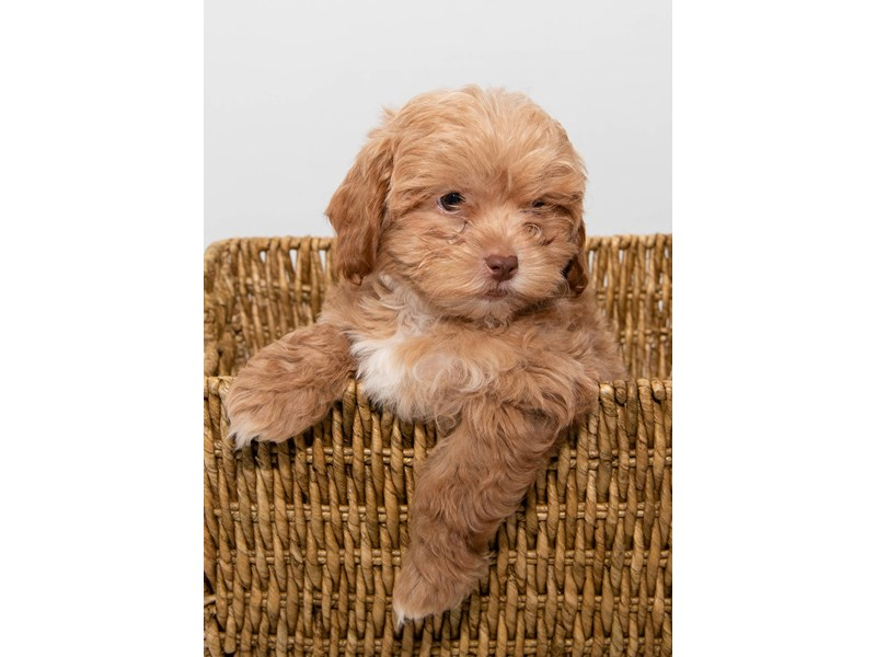 Poodle/Shih Tzu-Male-Chocolate Gold-2303242-My Next Puppy