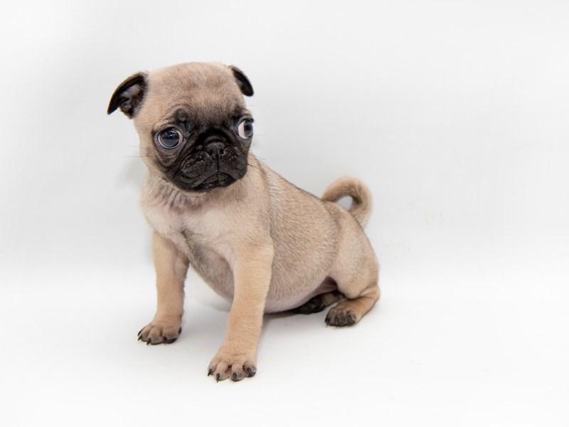 Pug-Female-Fawn-2308778-My Next Puppy