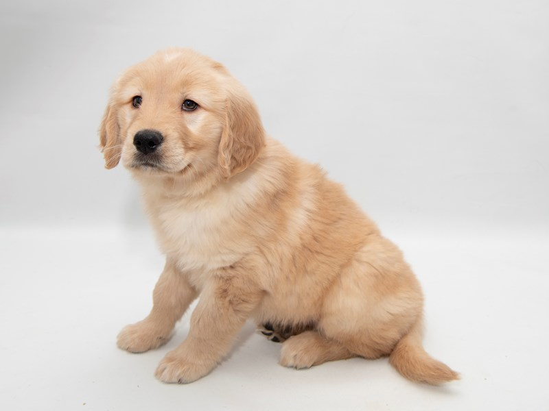 Golden Retriever – Lulu