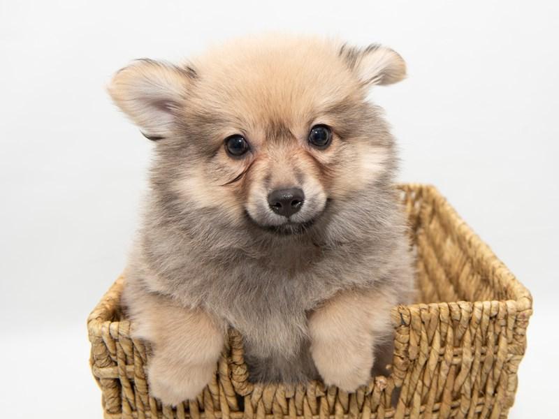 Pomeranian-Male-CR SBL-2308327-My Next Puppy