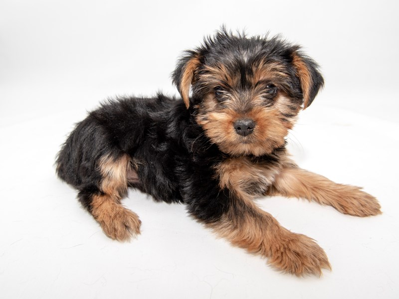 Yorkshire Terrier – Shadow