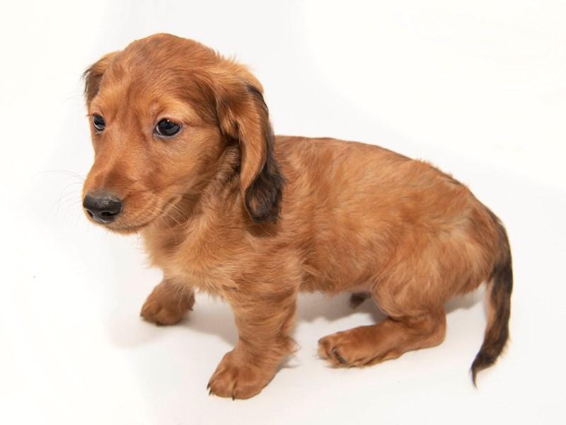 Dachshund-Male-Red-2291719-My Next Puppy