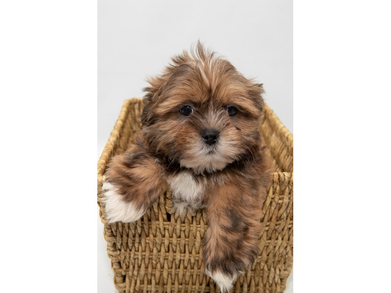 Lhasa Apso-Male-GLDN-2308441-My Next Puppy