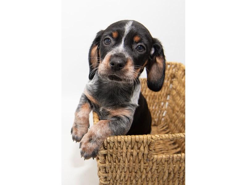 Beagle-Female-BLK & TN:TKD-2308324-My Next Puppy