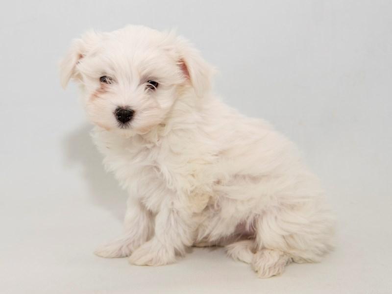Maltese-Female-White-2314208-My Next Puppy