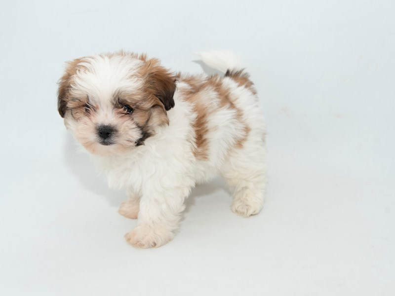 Teddy Bear-Male-White / Gold-2314210-My Next Puppy
