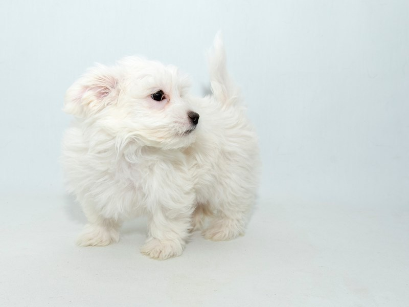 Maltese-Male-WH-2313746-My Next Puppy