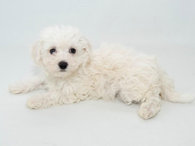 Bichon Frise-Male-WH-2313748-My Next Puppy