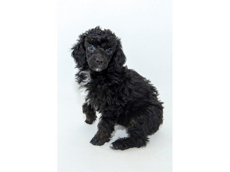 Miniature Poodle-Female-BLK-2313750-My Next Puppy