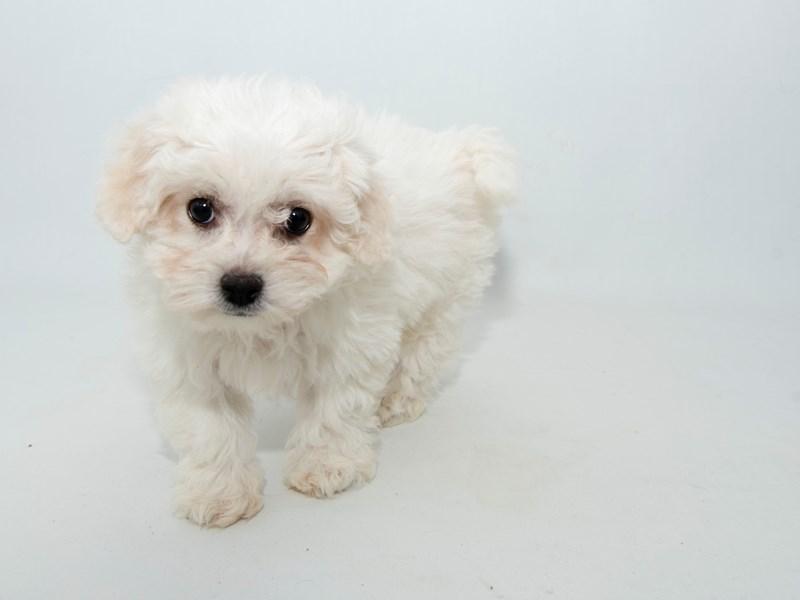 Bichon Frise-Female-WH-2313744-My Next Puppy