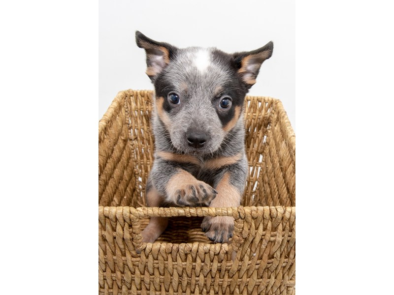 Australian Cattle Dog-Female-Blue-2314217-My Next Puppy