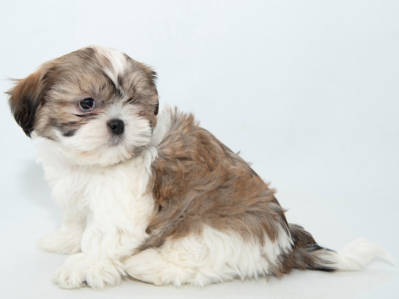 Shih Tzu-Male-White / Gold-2314219-My Next Puppy