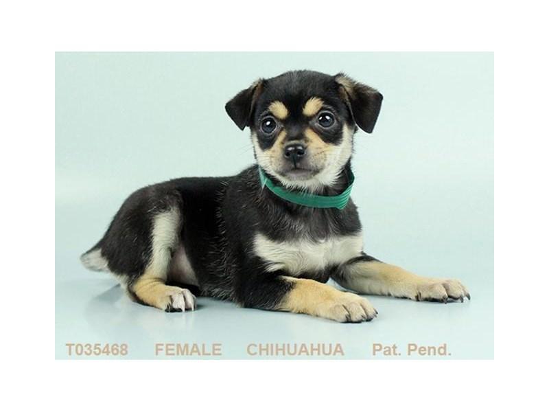 Chihuahua-Female-BLK & TN-2319071-My Next Puppy