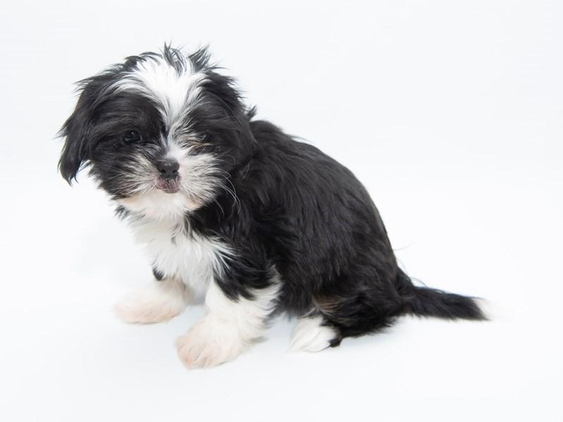 Shih Tzu-Female-Black and White-2320826-My Next Puppy