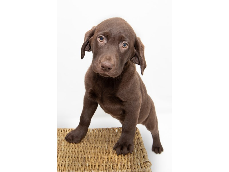 Labrador Retriever – Lana
