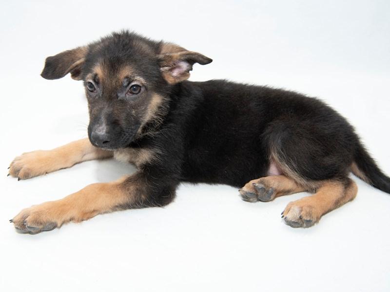German Shepherd Dog – Brooklyn