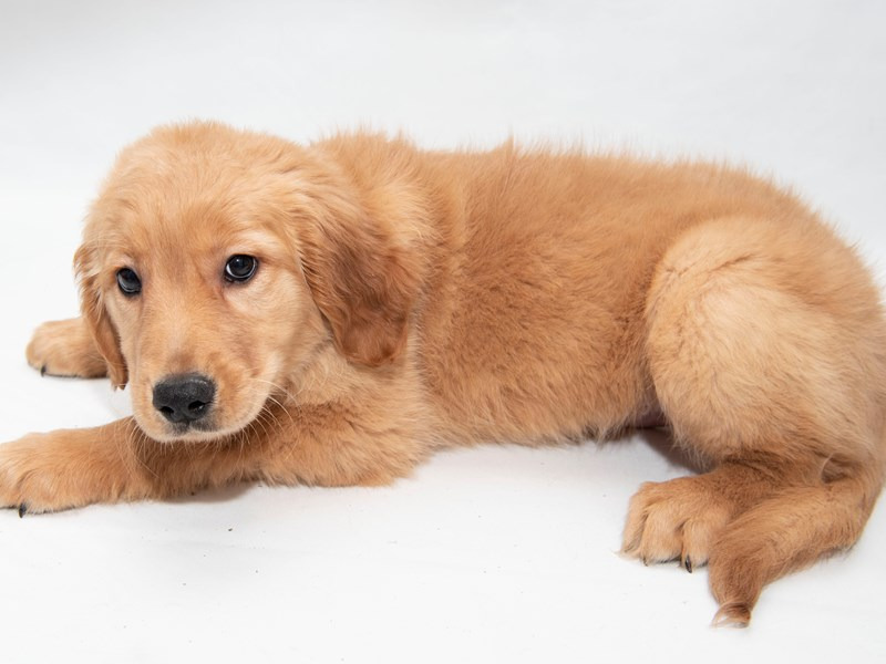 Golden Retriever – Yogi