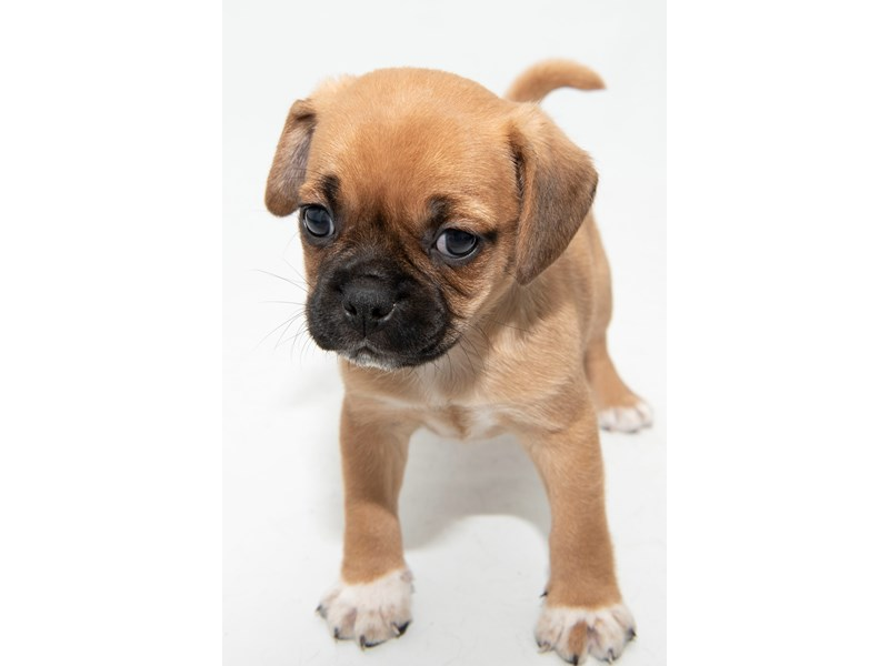 Puggle-Male-Apricot-2325192-My Next Puppy