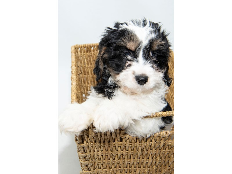 Cavachon-Male-Tricolor-2326740-My Next Puppy
