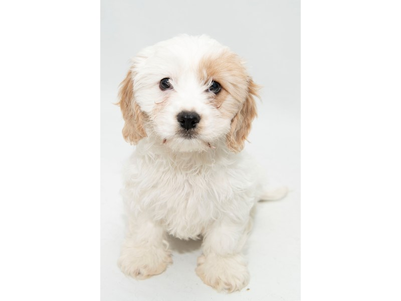 Cavachon-Female-White/Sable-2326743-My Next Puppy
