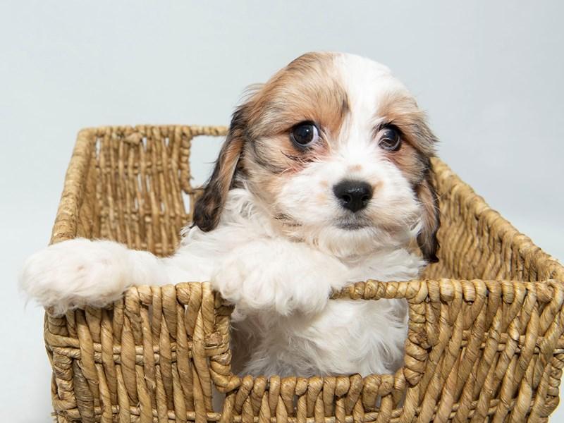 Cavachon-Female-White/Sable-2326750-My Next Puppy