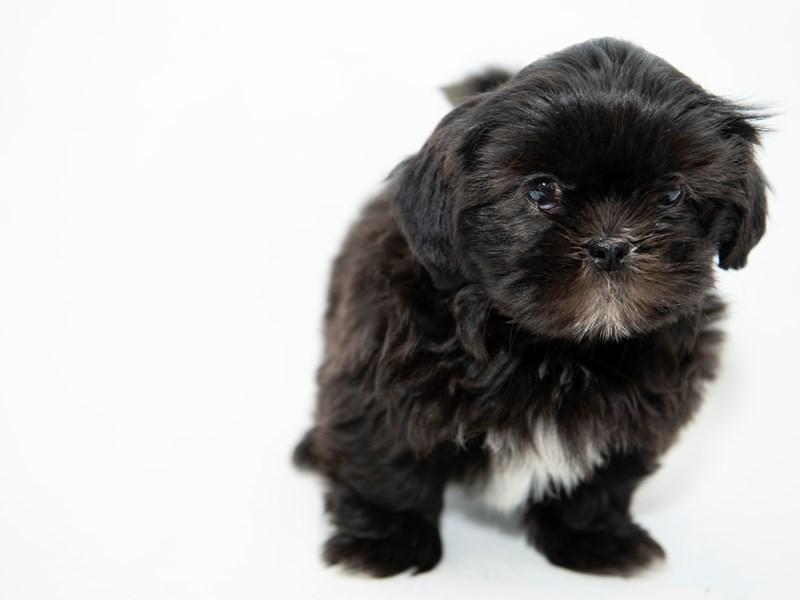 Shih Tzu-Female-Black-2330649-My Next Puppy