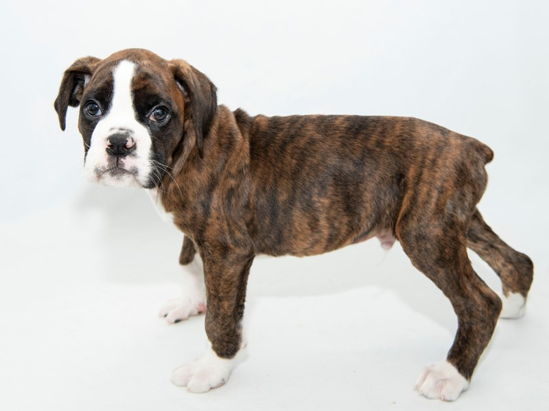 Boxer-Male-Brindle-2330657-My Next Puppy