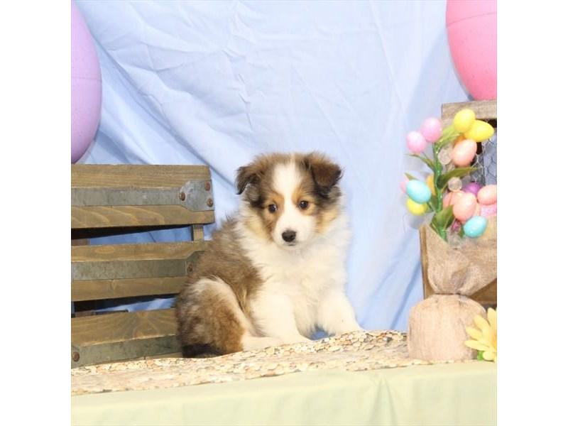 Shetland Sheepdog-Male-Sable / White-2335490-My Next Puppy