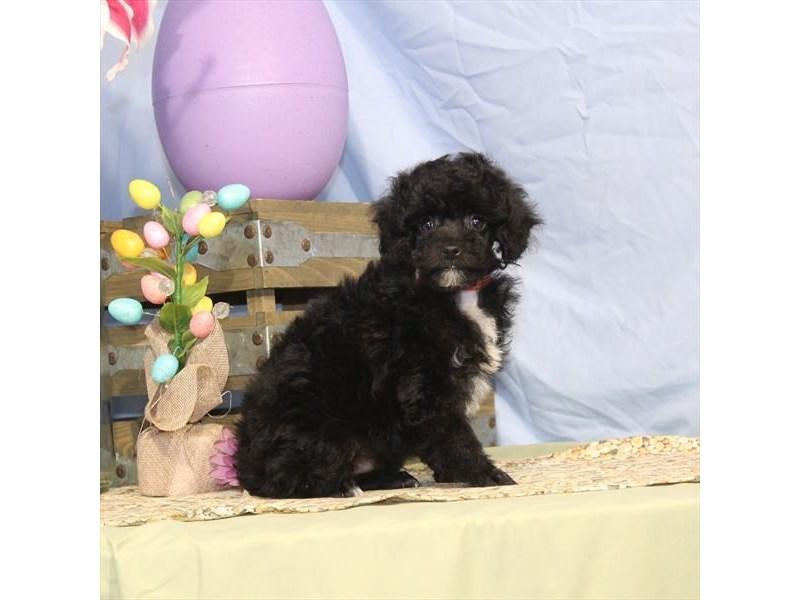 Miniature Poodle-Male-Black-2335501-My Next Puppy