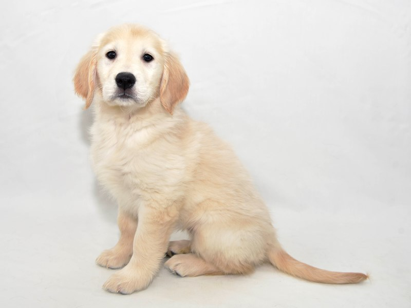 Golden Retriever-Female-Golden-2337030-My Next Puppy