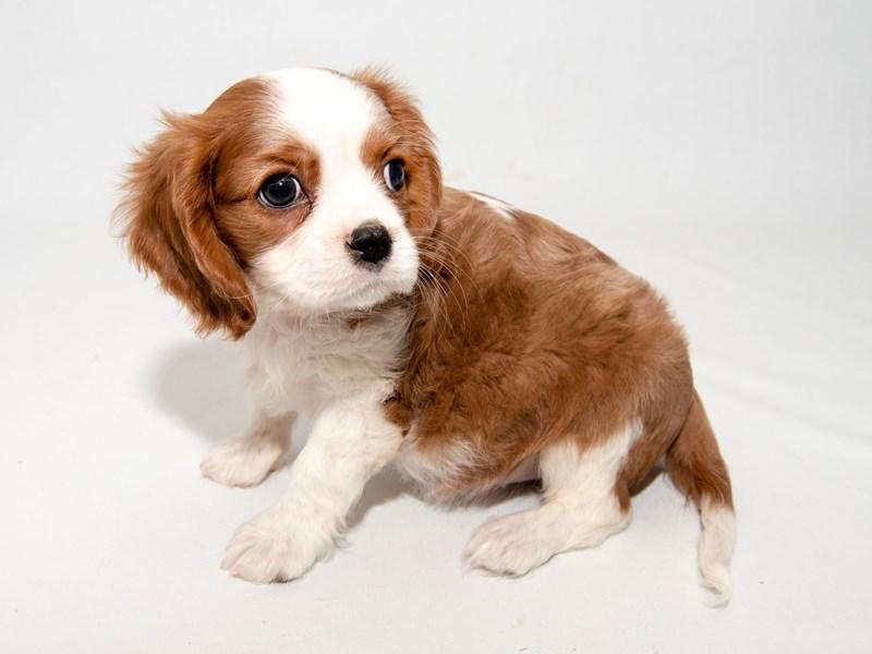 Cavalier King Charles Spaniel-Female-Blenheim / White-2297888-My Next Puppy
