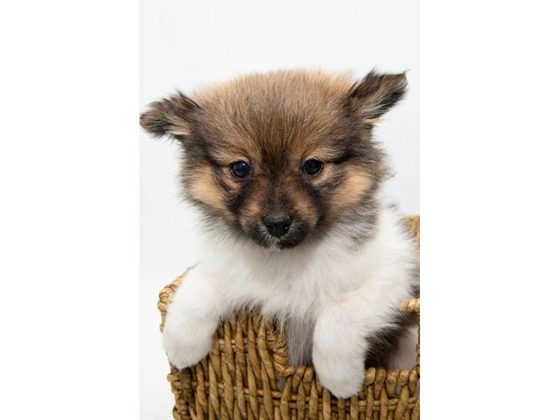 Pomeranian-Female-White / Red-2325161-My Next Puppy